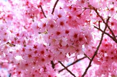 Tahun Ini, Bunga Sakura di Jepang Mekar Lebih Awal, Pertama dalam 1.200 Tahun