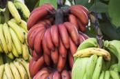 10 Manfaat Pisang Merah: Cegah Batu Ginjal hingga Turunkan Kolesterol