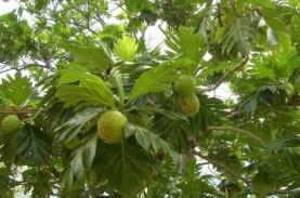 Tahukah Anda? Akar Pohon Sukun Mampu Mencegah Longsor…