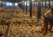 Pekerja memeriksa kondisi kandang dan ayam di peternakan ayam modern Naratas, Desa Jelat, Kabupaten Ciamis, Jawa Barat, Sabtu (11/4/2020). -Antara