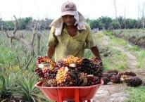 Seorang pekerja mengangkut Tandan Buah Segar (TBS) kelapa sawit dari dalam rakit di Desa Rantau Bais, Rokan Hilir, Riau, Senin (8/3/2021). (ANTARA FOTO/Aswaddy Hamid)