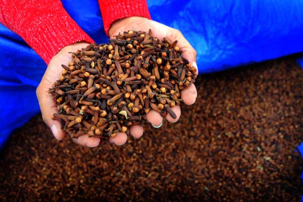 Petani memperlihatkan cengkeh yang siap dijual di Manado, Sulawesi Utara, Jumat (31/7).  - Antara