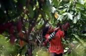 Industri Kakao Terhambat Data Pemerintah