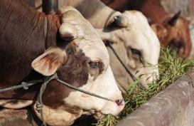 Pembelian Peternakan Sapi di Belgia Tak Hilangkan Kewajiban Swasembada Daging