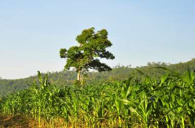 Sumbar Targetkan 7.500 Ha Lahan Baru Ditanami Jagung