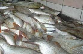 Kinerja Ekspor Bali, Pengiriman Ikan Kakap Naik 24…