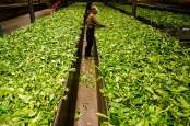 Holding PTPN III Ekspor Produk Teh ke Starbucks AS