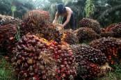 Reli Harga CPO Dibayangi Potensi Penambahan Produksi