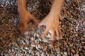 Ekspor Kakao Fermentasi dari Bali Tak Sekuat Produksi Petani