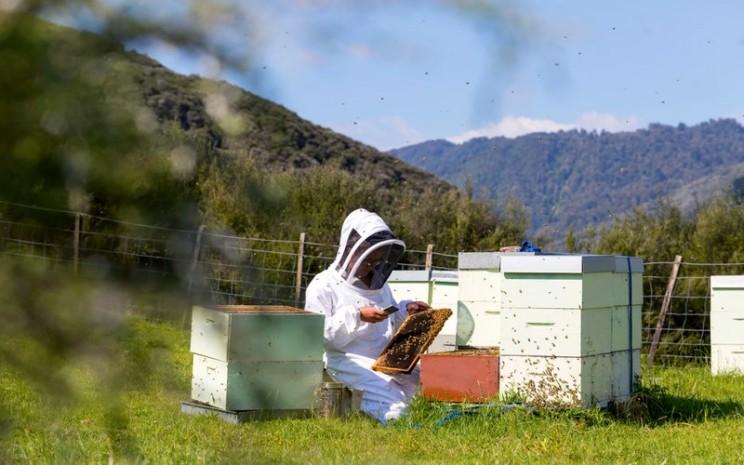 Peternak madu manuka di Selandia Baru -  New Zealand Trade and Enterprise