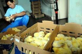 Peternak Ayam di Jatim Sebut Dua Faktor Pemicu Kenaikan…