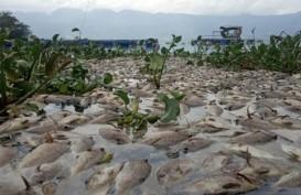 Berton-Ton Bangkai Ikan Terapung di Danau Maninjau