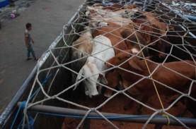 Pasokan Sapi Bakalan Turun, Impor Daging Beku Bisa…