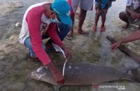 Seekor Dugong Terdampar di Pantai Sabu Raijua