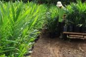 Replanting Sawit Perkebunan Rakyat di Sumbar Tak Berjalan Optimal