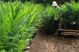 Replanting Sawit Perkebunan Rakyat di Sumbar Tak Berjalan…