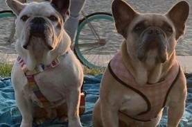 Polisi Tangkap Penculik Anjing Kesayangan Lady Gaga
