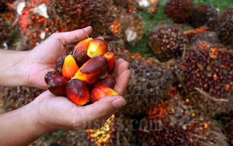 Pekerja menata kelapa sawit saat panen di kawasan Kemang, Kabupaten Bogor, Minggu (30/8/2020). Badan Litbang Kementerian ESDM memulai kajian kelayakan pemanfaatan minyak nabati murni (crude palm oil/CPO) untuk pembangkit listrik tenaga diesel (PLTD) hingga Desember 2020. Bisnis - Arief Hermawan P