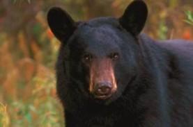 Ngeri! Satu Keluarga Beruang Aniaya dan Santap Wanita…
