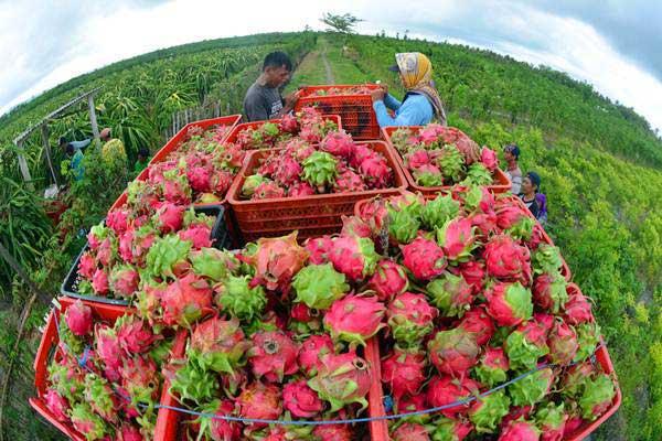 Pekerja memanen buah naga di Desa Sumberasri, Purwoharjo, Banyuwangi, Jawa Timur, Sabtu (22/12/2018). - ANTARA/Seno