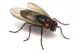 Ribuan Lalat Ganggu Warga Koto Tingga, Ternyata Ini…