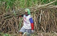 Pabrik Gula di Jatim Mulai Giling, Produksi Tahun Ini Digenjot