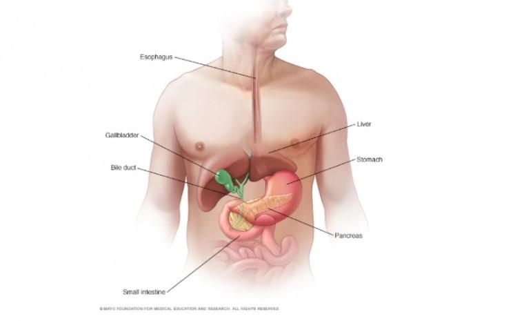 Ilustrasi sistem pencernaan tubuh  -  Mayo Clinic