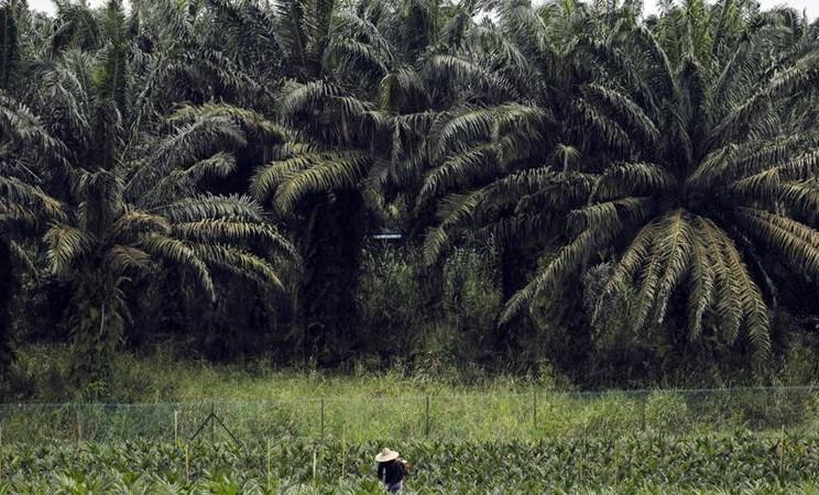 Kebun sawit. -  Joshua Paul / Bloomberg
