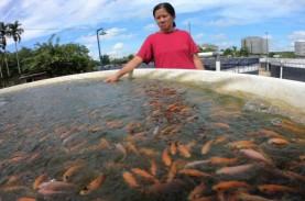 Benih Ikan dari Belumai Bengkulu Dipasarkan Hingga…