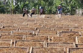 Kemarau Basah Tak Surutkan Minat Petani Temanggung Menanam Tembakau
