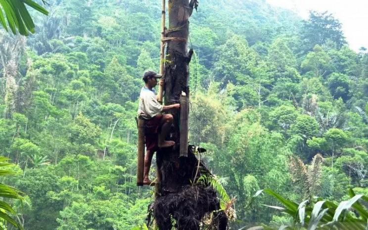 Ilustrasi - Petani mengambil air nira dari pohon aren.  - ANTARA