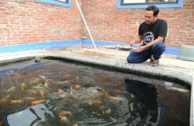 Potensi Budi Daya Ikan Koi Masih Menjanjikan