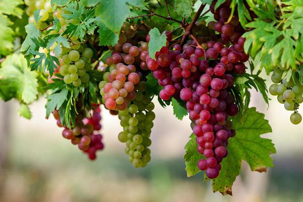 Anggur - Healthyfig