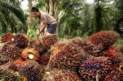Malaysia Lockdown, Harga Sawit Riau Turun Hingga Rp102,26 per Kg