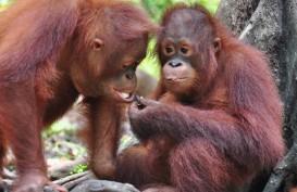 Lepasliarkan 7 Orangutan di TN Bukit Baka Bukit Raya, Ini Kata KLHK