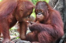 Lepasliarkan 7 Orangutan di TN Bukit Baka Bukit Raya,…