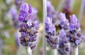Lavender, Tanaman Hias Pengusir Nyamuk. Begini Cara Merawatnya