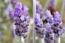 Lavender, Tanaman Hias Pengusir Nyamuk. Begini Cara…