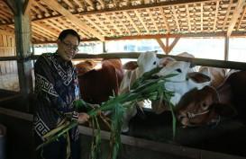 Pembiakan Sapi Potong di Malang Perkuat Ketahanan Daging