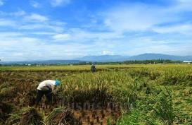 Purwakarta Targetkan Produksi Padi Bisa Kembali Surplus