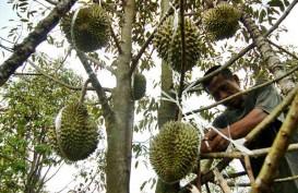 Sumbar Garap Potensi Perkebunan Durian Jadi Agro Wisata