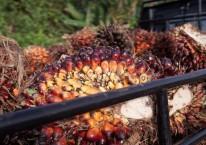 Kelapa sawit ditumpuk di atas sebuah truk di Penajam, Kalimantan Timur, Rabu (27/11/2019)./Bloomberg-Dimas Ardian