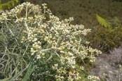 Ini Alasan Bunga Edelweis Disebut Bunga Abadi dan Tidak Boleh Dipetik