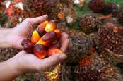 Cisadane Sawit Raya (CSRA) Bidik Pendapatan Rp750 Miliar Tahun Ini
