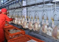 Pemerintah Pangkas Bibit Ayam Pedaging, CPIN & JPFA dkk Berkokok?