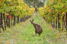 Australia Ajukan Banding Tarif Anggur China ke WTO