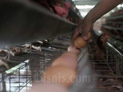 Peternak Ayam Minta Kemendah Pertimbangkan Ulang Regulasi HET Telur