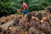 Makin Anjlok, Harga Sawit Sumut Hanya Rp2.060 per Kg