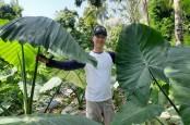 Talas Beneng Jadi Komoditas Ekspor, Petani Bali Perluas Pertanaman